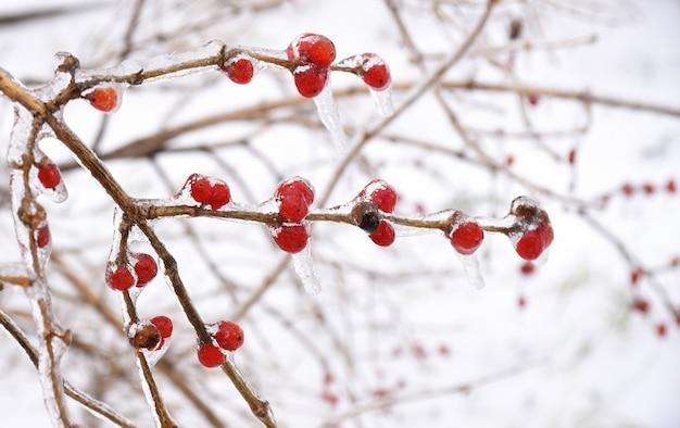 Gefrorene rote beeren auf einem ast in eis und schnee an einem wintertag