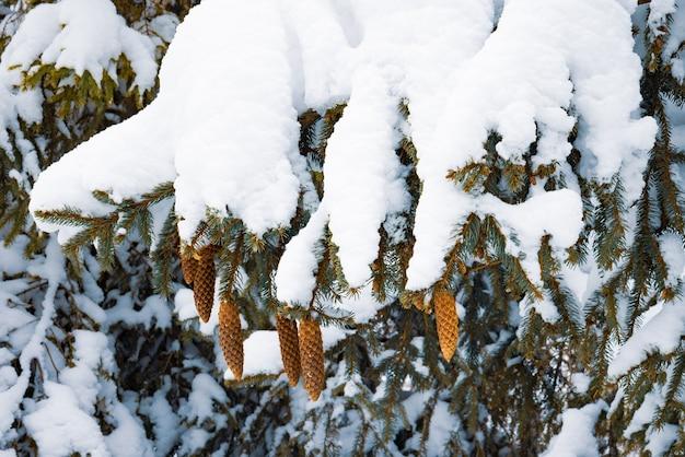Gefrorene tannenzweige mit einer schneeschicht bedeckt