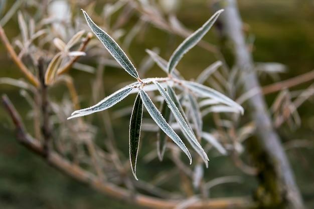 Gefrorene weidenblätter. natürlicher herbst- oder winterhintergrund.