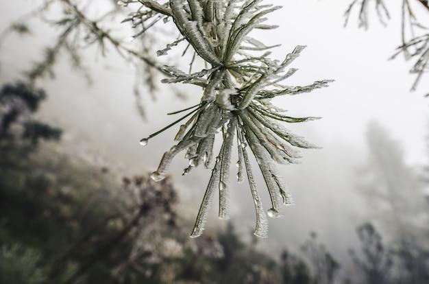 Gefrorener kiefernzweig mit eisfrost