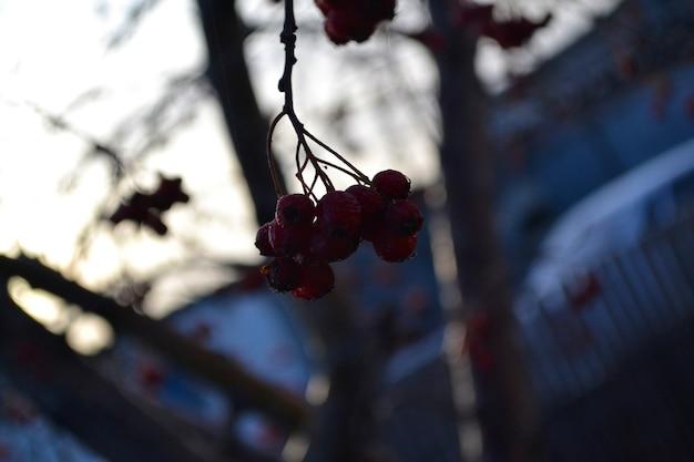 Gefrorener weißdorn herbst erster frost
