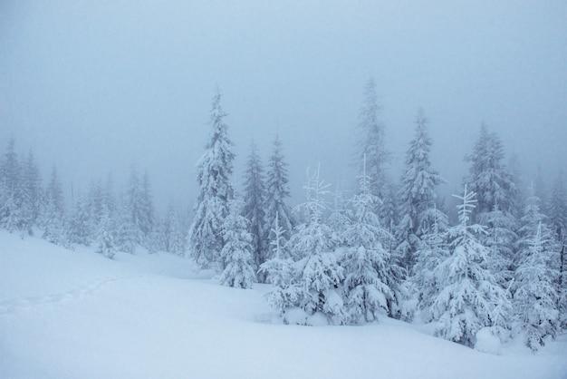 Gefrorener winterwald im nebel. kiefer in der natur bedeckt mit frischem schnee karpaten, ukraine