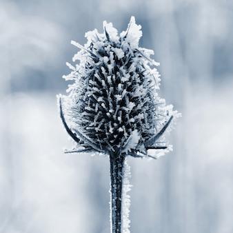 Gefrorenes onopordum acanthium. natürlicher hintergrund des schönen winters saisonal.