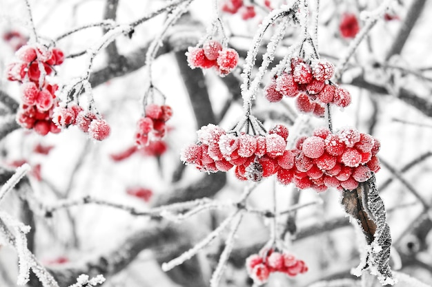 Gefrorenes viburnum unter dem schnee. erster schnee
