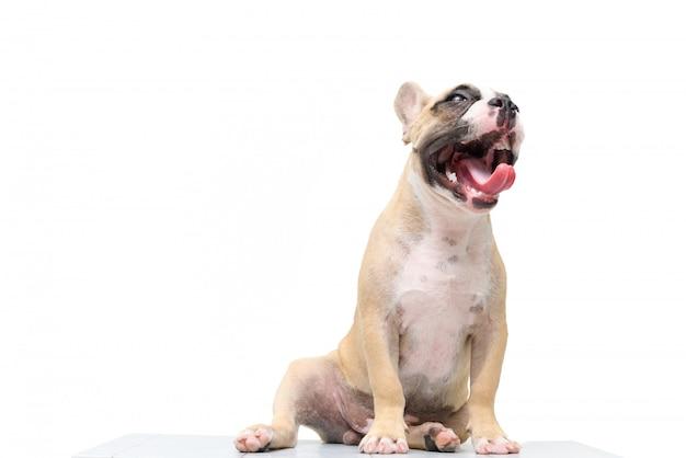 Gegähne der französischen bulldogge lokalisiert auf weiß