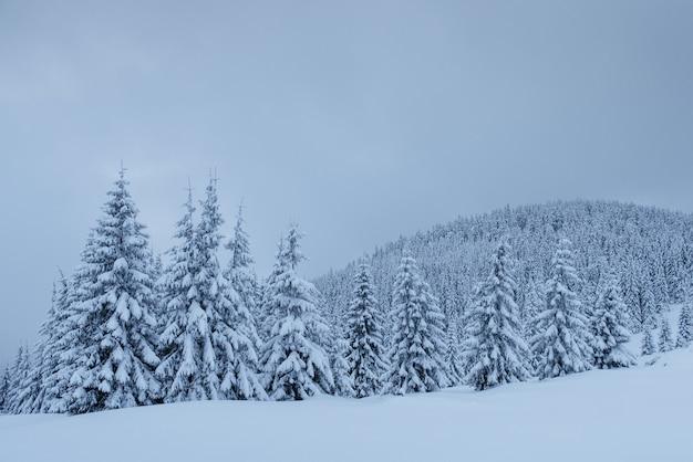Geheimnisvolle winterlandschaft, majestätische berge mit schneebedecktem baum. foto-grußkarte. karpaten ukraine europa