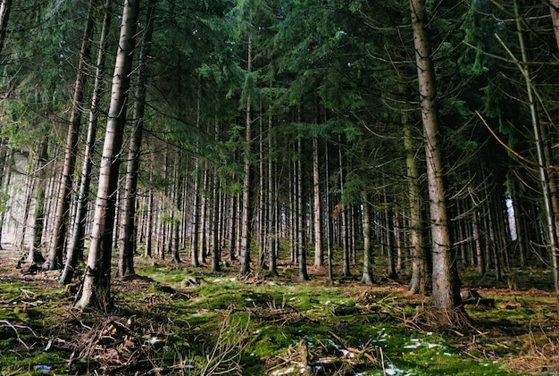 Geheimnisvoller wald, der während der winterzeit von der sonne beleuchtet wird. viele bäume verleihen dem bild eine magische atmosphäre