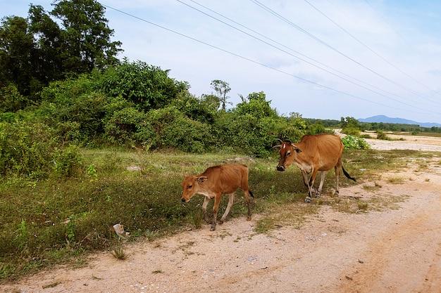 Gehende kuh durch die straße in thailand
