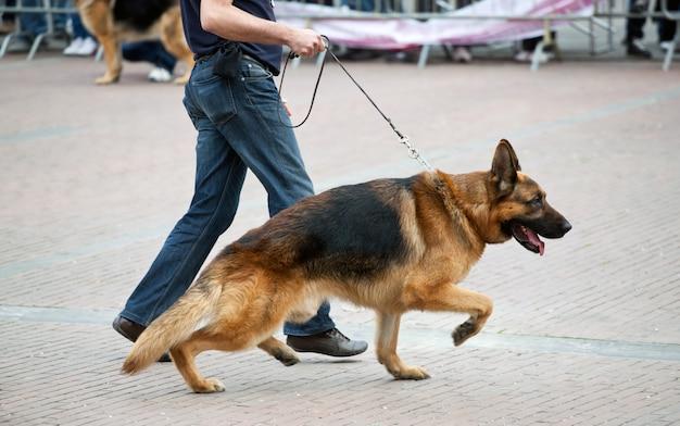 Gehender hund mit deutschem schäferhund