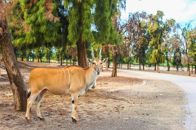 Gehörnte kudu-antilope in der natur, die unter einem baum steht