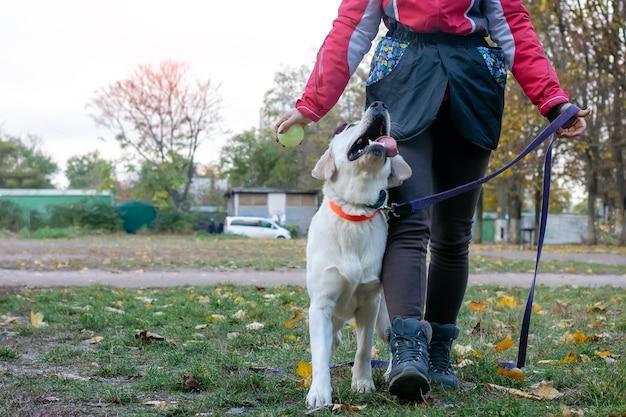 Gehorsamstraining für labrador-welpen. ausführen von befehlen und training des hundes.