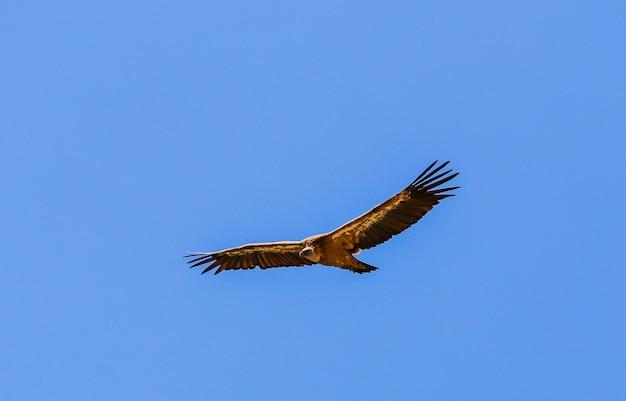 Geier fliegt zwischen dem blauen himmel