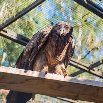 Geier in einem zoo. ein geiervogel der beute schaut vorderansicht.