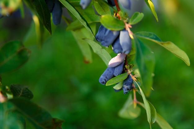 Geißblattbeere wächst auf ast im garten gegen blätter