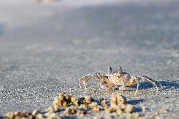 Geisterkrabbe auf einem sandigen strand