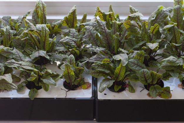 Gekeimte junge rote-bete-blätter in einem speziellen behälter mit löchern im ladenregal. gesundes essen.