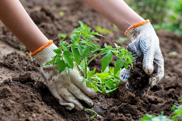 Gekeimter gepflanzter spross