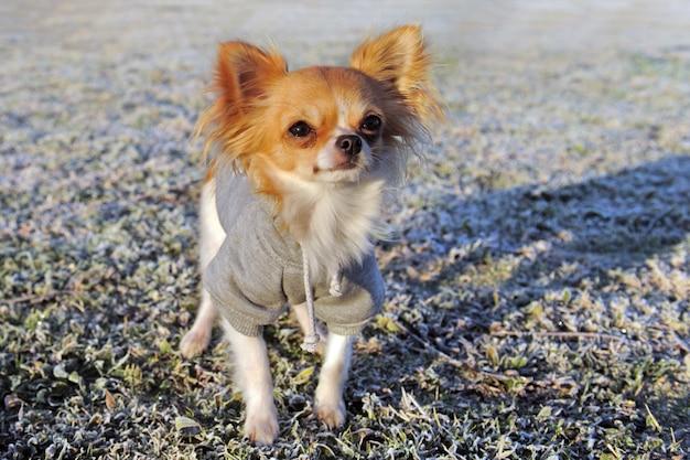 Gekleidete chihuahua im winter