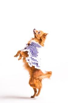 Gekleideter brauner hund, der auf den hinterbeinen lokalisiert auf weißem hintergrund steht