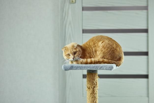 Gelangweilte süße britische katze, die sich zu hause im wohnzimmer auf den katzenkratzer legt