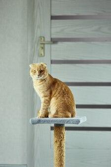 Gelangweilte süße britische katze sitzt auf dem katzenkratzer zu hause im wohnzimmer