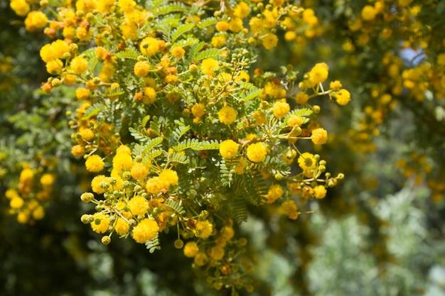 Gelb blühende mimose auf einem baum an einem sonnigen tag. akaziensilber in der farbe