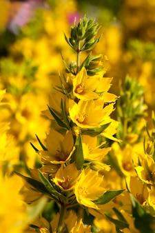Gelb blühender strauch im sommer