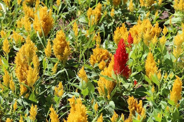 Gelb der hahnenkammblume in der blüte und im morgensonnenschein im blumengarten.