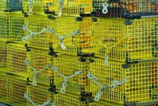 Gelb hummerfallen