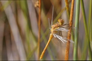Gelb libelle, bug