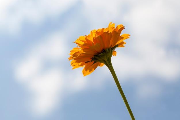 Gelb-orange blüten im sommer