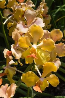 Gelb-orange orchideenblüten
