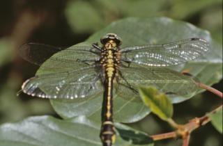 Gelb und schwarz libelle, bug