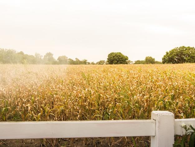 Gelb von den trockenen maisplantagen mit weißem zaun und rauch eingeschlossen.