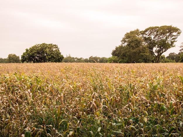 Gelb von trockenen maisplantagen