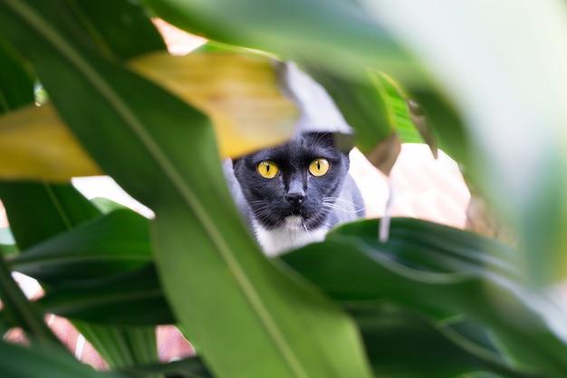 Gelbäugige schwarze katze, die im busch, katzenjagd sich versteckt