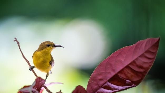 Gelbbauchiger sonnenvogel