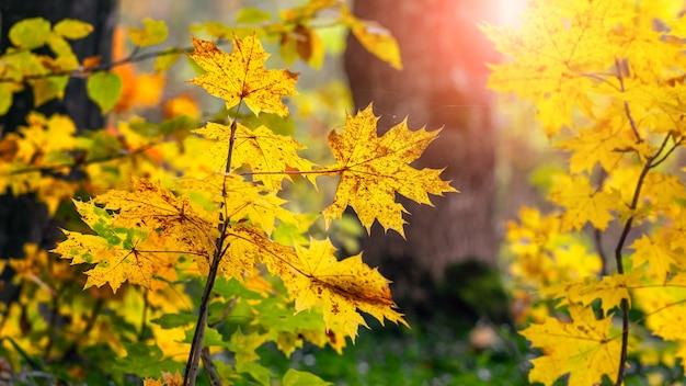 Gelbe ahornblätter an bäumen im wald bei hellem sonnenlicht