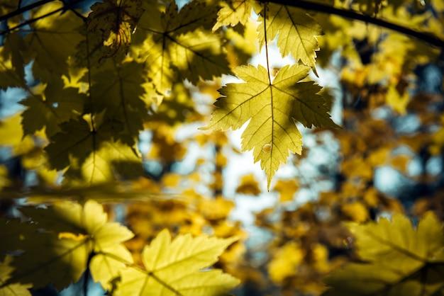 Gelbe ahornblätter an einem sonnigen herbsttag, natürlicher hintergrund