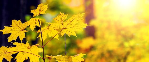Gelbe ahornblätter an jungen bäumen im herbstwald bei sonnigem wetter