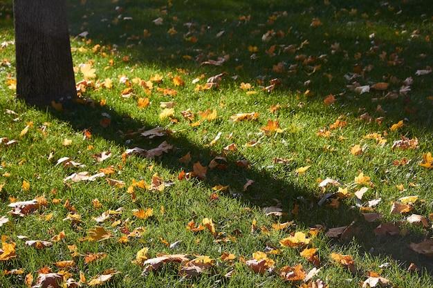 Gelbe ahornblätter auf dem grünen rasen