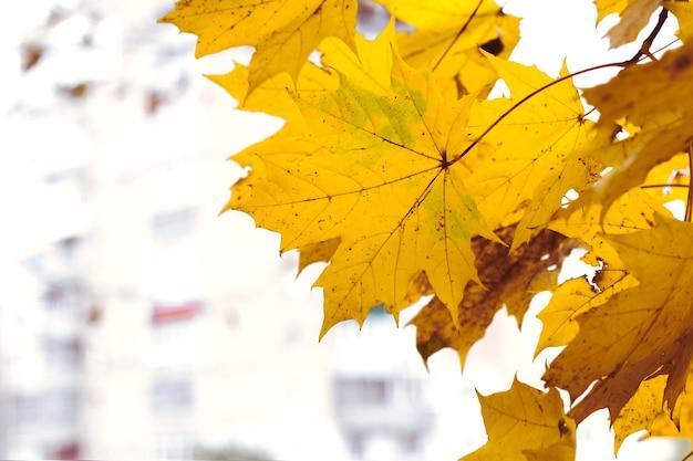 Gelbe ahornblätter auf dem hintergrund eines hochhauses, herbsthintergrund