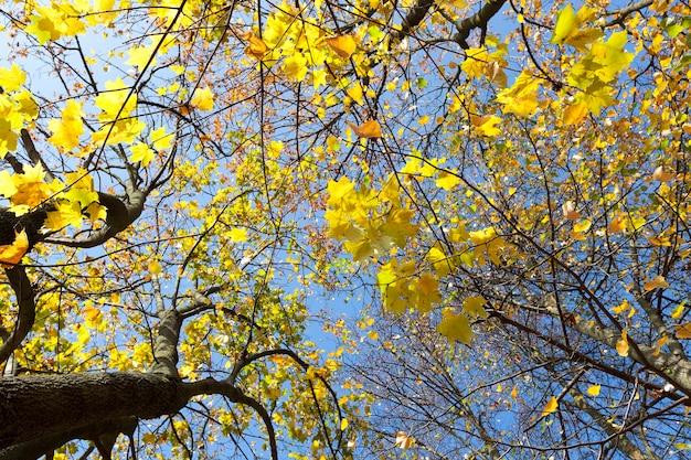 Gelbe ahornblätter, die auf einem baum wachsen. von unten gegen den blauen himmel fotografiert. nahansicht.