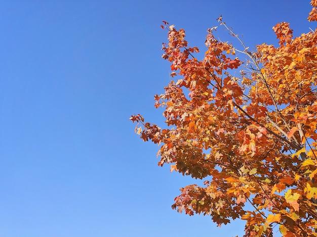 Gelbe ahornblätter im herbstpark auf hellblauem himmelhintergrund, retro getönt