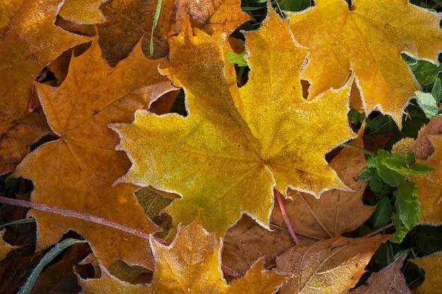 Gelbe ahornblätter mit raureif auf dem boden herbstnaturhintergrund