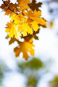 Gelbe ahornblätter