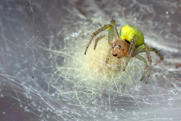 Gelbe araniella cucurbitina spinne im eigenen spinnennetz