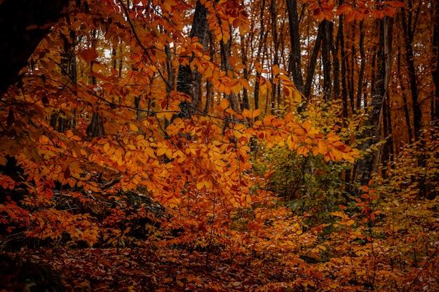 Gelbe bäume des herbstes im wald in raine