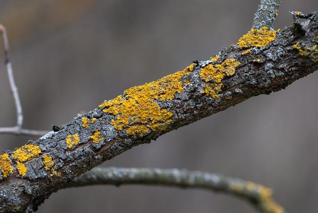 Gelbe baumflechte auf dem alten obstbaumstamm