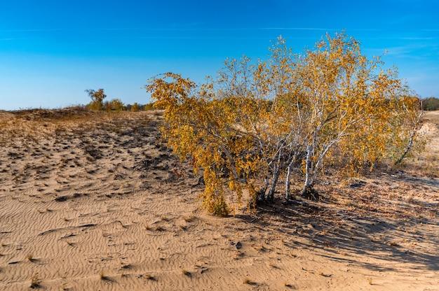 Gelbe birken in der halbwüste im herbst